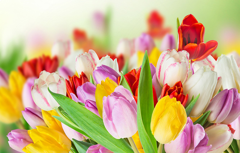 tulips-colorful-spring_123.jpg
